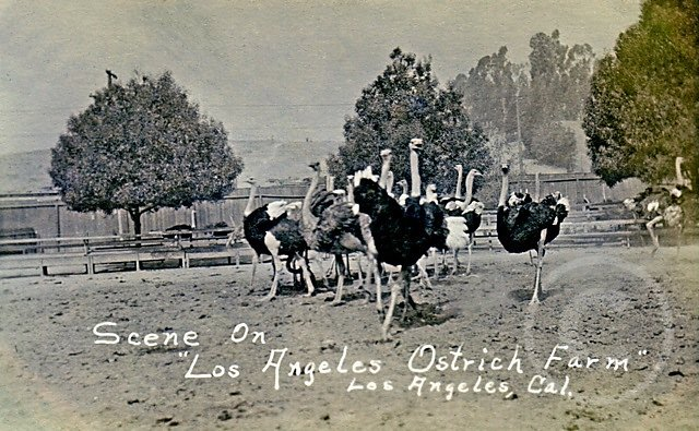 OstrichFarmGaggle.jpg